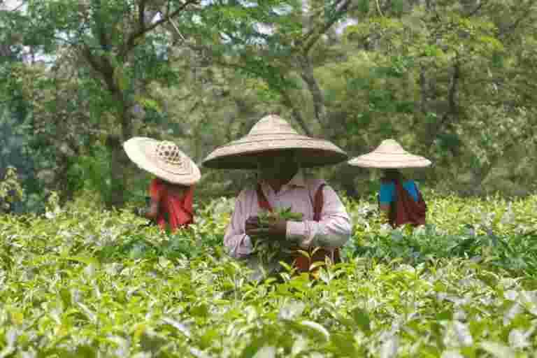 印度的10月茶产量下降3.7%